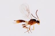 Binodoxys angelicae : adulte habitus