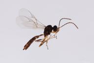 Diaeretiella rapae : adulte