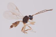 Lipolexys gracilis : adulte