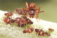 Défense agressive de la fourmi