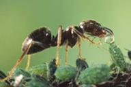 Prélèvement de miellat