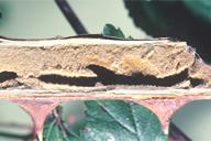 Pemphredon lethifer : nid ouvert