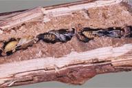 Pemphredon lethifer : nymphes à différents stades de développement