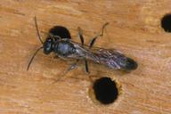 Tripoxylon figulus : adulte