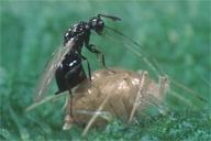 Asaphes pondant dans une momie de Microlophium carnosum