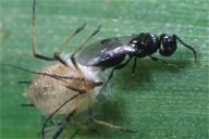 Dendrocerus sp parasitant Praon volucre sur Sitobion avenae