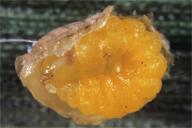 larve d'hyperparasitoïde