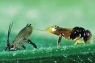 Aphelinus abdominalis et Sitobion avenae