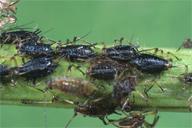 Aphelinus abdominalis : momies noires dans une colonie d'Uroleucon spp