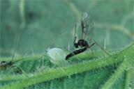 Aphidius microlophii : adulte en position de ponte
