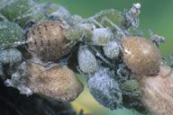 Diaeretiella rapae : momies de Brevicoryne brassicae