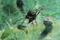 Lysiphlebus fabarum dans une colonie d'Aphis urticata