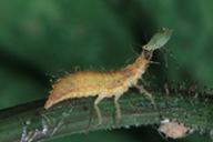 Chrysopa perla : larve