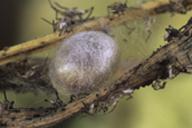 Chrysoperla lucasina : cocon