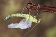 Chrysoperla lucasina : émergence