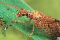 Micromus angulatus : adulte