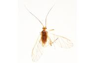 Acyrthosiphon malvae : adulte ailé