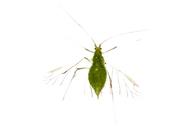 Acyrthosiphon pisum : adulte ailé