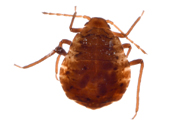 Anoecia corni : adulte aptère