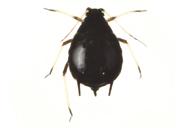 Aphis craccivora : adulte aptère