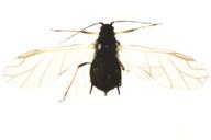 Aphis craccivora : adulte ailé