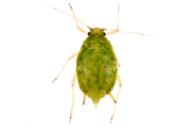 Aphis spiraecola : adulte aptère