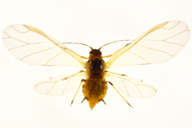 Aphis spiraecola : adulte ailé