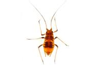 Aulacorthum (Neomyzus) circumflexum : adulte aptère