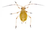Aulacorthum solani : larve