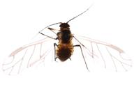 Brachycaudus helichrysi : adulte ailé