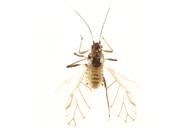 Callipterinella calliptera : adulte ailé