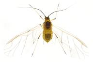 Capitophorus elaeagni : adulte ailé