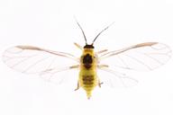 Cavariella pastinacae : adulte ailé