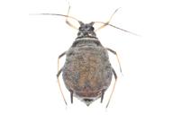 Dysaphis plantaginea : adulte aptère