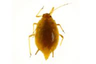 Elatobium abietinum : adulte aptère