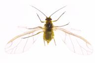 Elatobium abietinum : adulte ailé