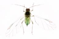 Hyalopterus pruni : adulte ailé