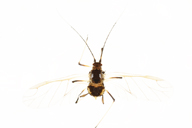 Hyperomyzus lampsanae : adulte ailé