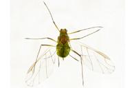 Illinoia lambersi : adulte ailé