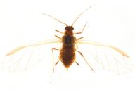 Liosomaphis berberidis : adulte ailé