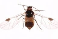 Anoecia corni : adulte ailé