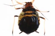 Brachycaudus cardui : adulte aptère