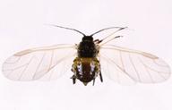 Brachycaudus cardui : adulte ailé