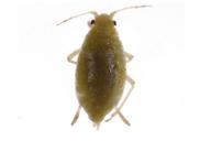 Cavariella aegopodi : adulte aptère