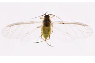 Cavariella aegopodi : adulte ailé