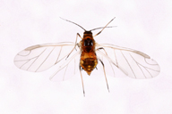 Dysaphis foeniculus : adulte ailé
