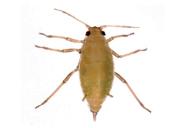 Hayhurstia atriplicis : adulte aptère