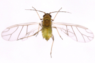 Hayhurstia atriplicis : adulte ailé