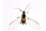 Hyperomyzus lactucae : adulte ailé