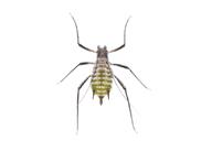 Macrosiphoniella artemisiae : adulte aptère